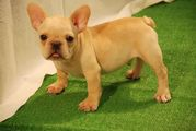 male french bulldog puppy for re homing